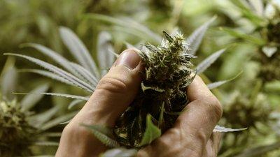 """Más allá del """"porro"""", la marihuana como opción medicinal"""