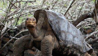 La tortuga con alto ímpetu sexual que salvó a su especie