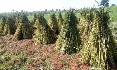 Japón es el mayor importador de sésamo paraguayo