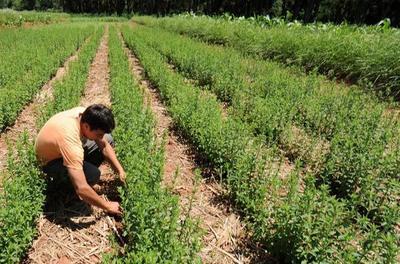 La stevia paraguaya atrae la mirada de inversiones externas