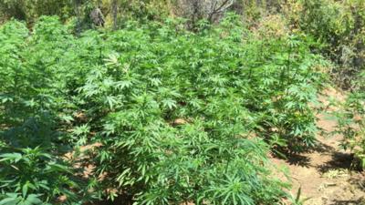 Amambay: Eliminan más de 500 toneladas de marihuana