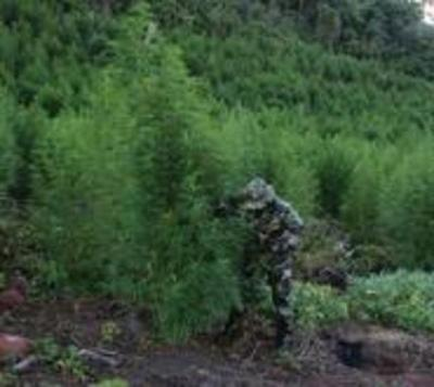 Incineran más de 500 toneladas de marihuana en operativo de la Senad