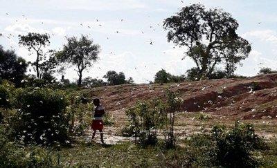 Temor en el Alto Paraguay por aparición de langostas