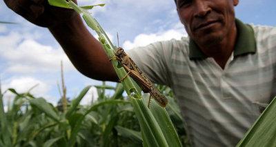 Continúan avistando langostas en zonas del Chaco