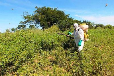 Gran foco de langostas acabó con pasturas de ganado en el Chaco