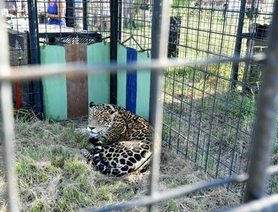 Llegó a los esteros del Iberá jaguareté cedido por Yacyreta