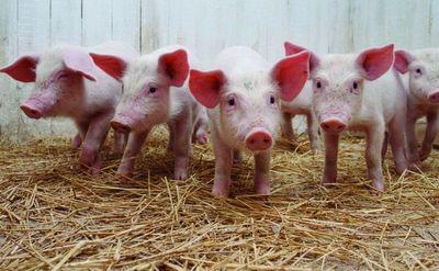 Sector porcino logrará aumentar exportaciones con certificación