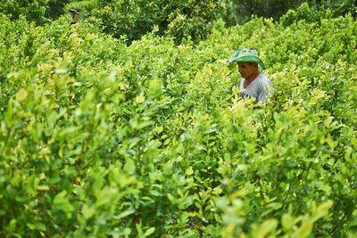 Colombia con cifra récord de plantación de coca