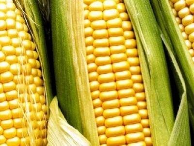 Anuncian la comercialización de nueva variedad de maíz