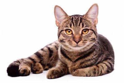 Restos fósiles de más de 200 gatos aclaran el camino de su domesticación