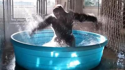 Baile de gorila es comparado con el de famosa película