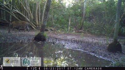 Avistan ejemplar de yaguareté en peligro de extinción