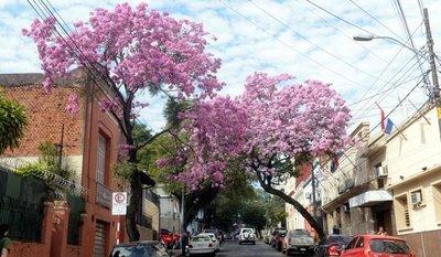 Lapachos rosados engalanan la capital con una explosión de color y belleza