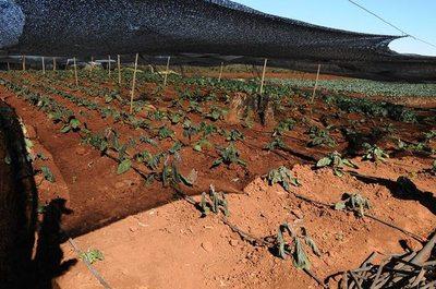 Horticultores solicitan ayuda tras heladas devastadoras