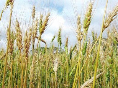 Cambio climático reducirá rendimiento de cultivos