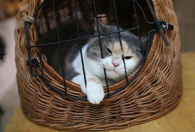 Con práctica y recompensa el gato se acostumbra al transportín