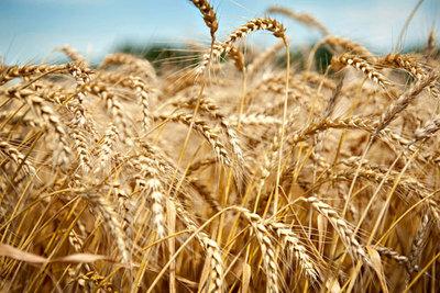 Drástica caída en exportaciones de trigo, consecuencia de las heladas