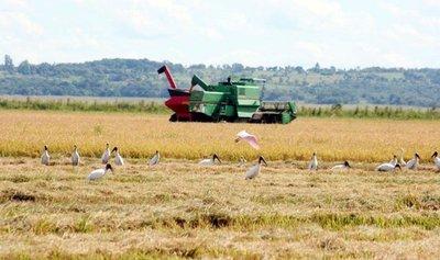 Los envíos de arroz a Europa chocan con altos aranceles