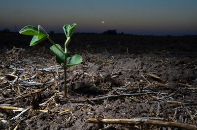 Argentina está disminuyendo la plantación sojera