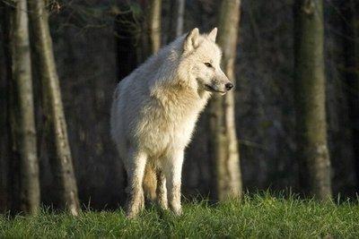 Dormir en medio de lobos en Francia