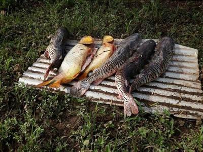 En plena veda requisan 500 kilos de pescado