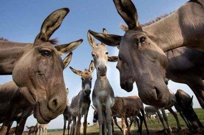 Una ciudad turca jubila a tres burros