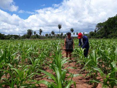 Labriegos de Concepción plantan maíz para autoconsumo