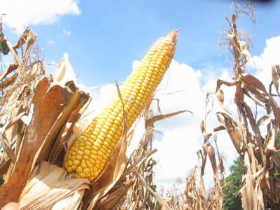 Brasil y Corea, principales destinos del maíz paraguayo