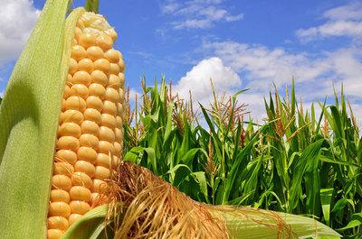 Soja sigue alto pero el trigo cae bastante en las cotizaciones