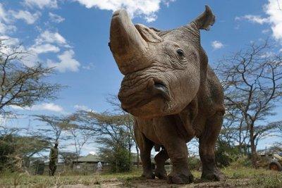 Muere Sudán, el último rinoceronte blanco del norte