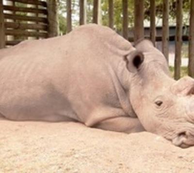 Murió el último rinoceronte blanco del norte