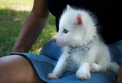 Descubre que su perro de raza spitz era en realidad un zorro