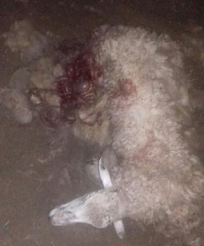 Extraño animal sigue matando ovejas