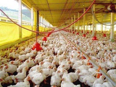 Cada vez más crece el consumo de pollo