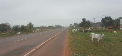 Los animales sueltos copan ruta 5 con total impunidad
