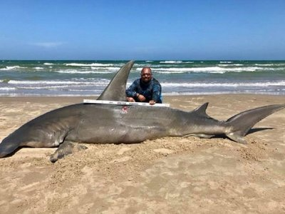 Capturan un tiburón martillo de más de 4 metros