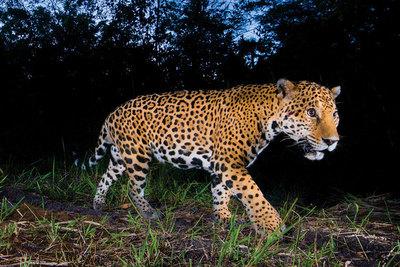 Jaguar escapa de zoológico, pero antes mató a 7 animales