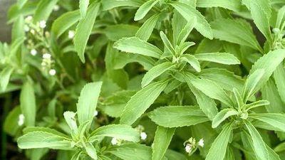 Dinapi nombra al Ka'a He'e como planta originaria de Paraguay