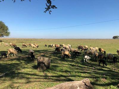 Protocolo de inseminación del MAG genera alto impacto en la producción de ovinos