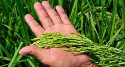 Estiman que en unos 10 años el Chaco tendrá cultivadas unas 500 mil hectáreas de arroz
