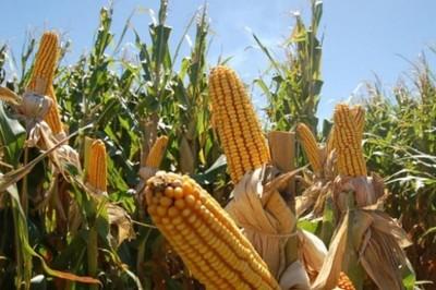 En Argentina identifican líneas de maíces tolerantes al golpe de calor