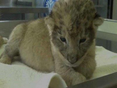 Primeras crías de leones concebidas por inseminación artificial