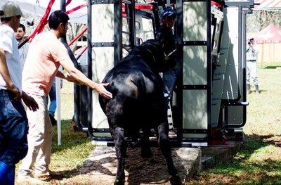Califican hoy a mejores reproductores bovinos
