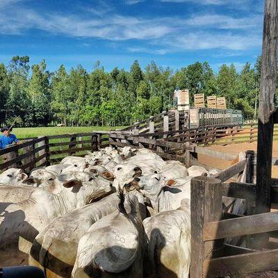 Paraguay registró en el arranque del mes la baja más pronunciada en el Mercosur para el novillo