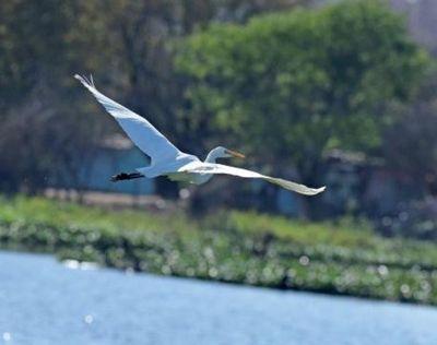 Garzas blancas copan la bahía