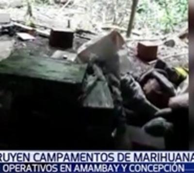 Destruyen 173 hectáreas de cultivo de marihuana