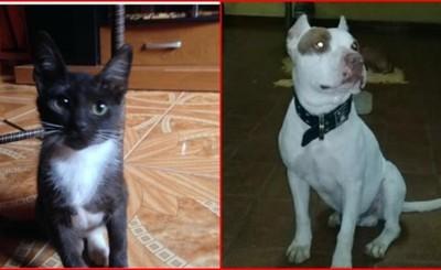 Buscan a un gato y un pitbull perdidos