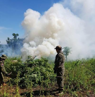 Destruyen 5 hectáreas de plantación de marihuana en Canindeyú