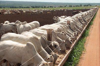 Se le dificulta a la industria lograr bajar el precio del ganado gordo