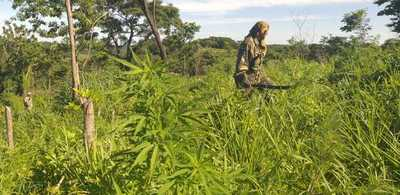 Senad destruye 50 toneladas de marihuana en Caaguazú